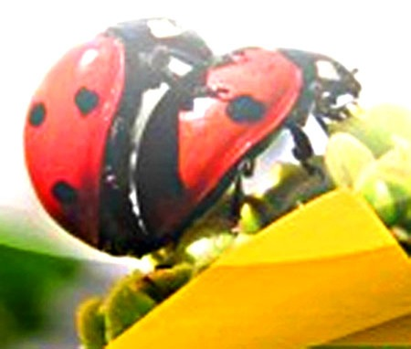 ladybug-sex-after